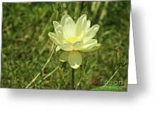 Lotus Flower In Bloom  Greeting Card
