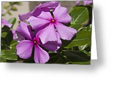 Madagascar Rosy Periwinkle Greeting Card