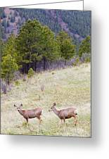 Mule Deer In The Pike National Forest Greeting Card