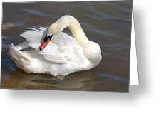 Mute Swan Grooming In Shallow Water Greeting Card