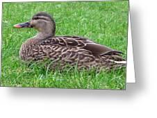 New Zealand - Female Mallard Duck Greeting Card