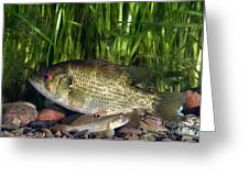 Rock Bass Greeting Card