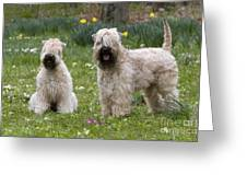 Soft-coated Wheaten Terriers Greeting Card