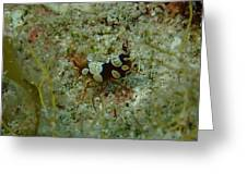 Squat Anemone Shrimp Greeting Card