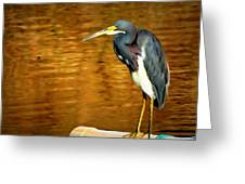 Tricolored Heron  Greeting Card