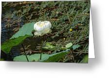 White Lotus Flower Flower Lotus Nature Summer Green Plant Blossom Asian Greeting Card