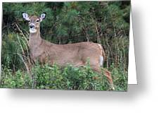 White Tailed Deer Calverton New York Greeting Card