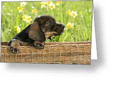 Wire-haired Dachshund Puppy Greeting Card