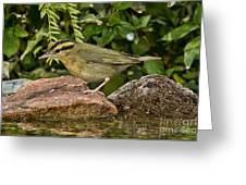 Worm-eating Warbler Greeting Card