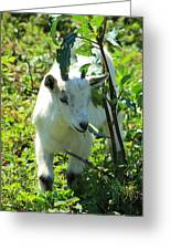 Young Goat On A Farm Greeting Card