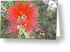 Australia - Red Callistemon Flower Greeting Card