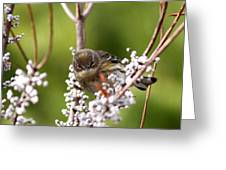 3172 - Warbler Greeting Card
