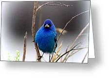 3553-16 - Indigo Bunting Greeting Card