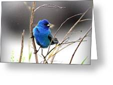 3554-027 -indigo Bunting Greeting Card