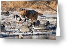 Duck And Goose Hunting Stock Photo Image Greeting Card
