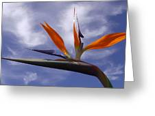 Australia - Bird Of Paradise On Blue Greeting Card