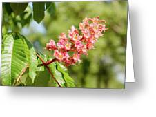 Aesculus X Carnea, Or Red Horse-chestnut Flower Greeting Card