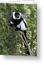 Black And White Ruffed Lemur Greeting Card