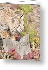 Bob Cat Greeting Card