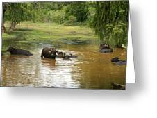 Buffalos Greeting Card