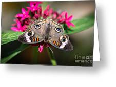 Common Buckeye Junonia Coenia Greeting Card