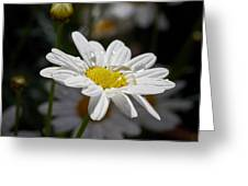 Marguerite Daisy Greeting Card