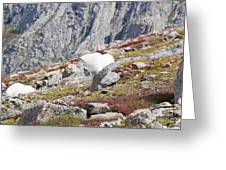 Mountain Goats On Mount Bierstadt In The Arapahoe National Fores Greeting Card