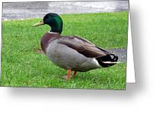 New Zealand - Male Mallard Duck Greeting Card
