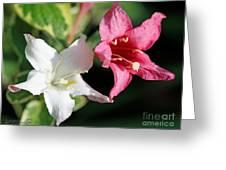Pink Splash Variegated Weigela Greeting Card
