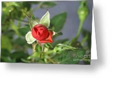 Red Rose Blooming Greeting Card