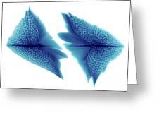Sturgeon Scales, X-ray Greeting Card