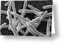 Yersinia Enterocolitica Bacteria Greeting Card