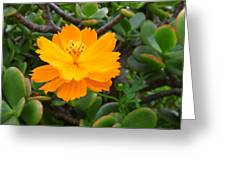 Australia - Cosmos Carpet Yellow Flower Greeting Card