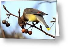 4424 - Cedar Waxwing Greeting Card