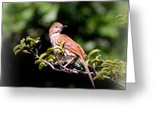 4979 - Brown Thrasher Greeting Card