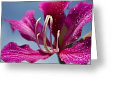 Bauhinia Purpurea - Hawaiian Orchid Tree Greeting Card by Sharon Mau