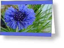 Centaurea Cyanus 2 Greeting Card