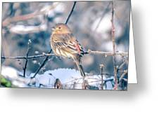 House Finch Tiny Bird Perched On A Tree Greeting Card