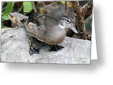 Juvenile Male Wood Duck Greeting Card
