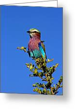Lilac Breasted Roller Greeting Card