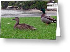 New Zealand - Mallard Ducks On The Grass Greeting Card