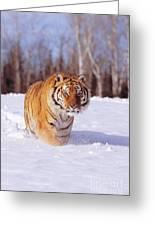 Siberian Tiger Greeting Card