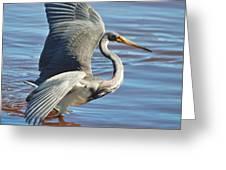Tri Colored Heron Greeting Card
