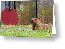 5002-groundhog Greeting Card