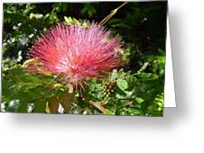 Australia - Red Caliandra Flower Greeting Card