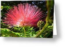 Australia - Caliandra Red Flower Greeting Card
