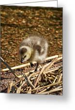 Barnacle Goose Greeting Card