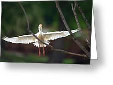 Cattle Egret In Flight Portrait Greeting Card