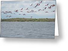 Colombia Sanctuary Of Flamingos Near Riohacha Greeting Card