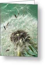 Dandelion Seeds On Flower Head Greeting Card